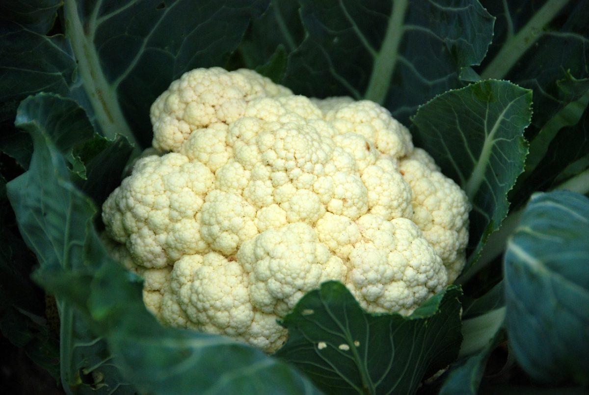Blomkål - en misforstået grøntsag