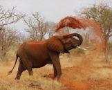 Hvad vejer en elefant
