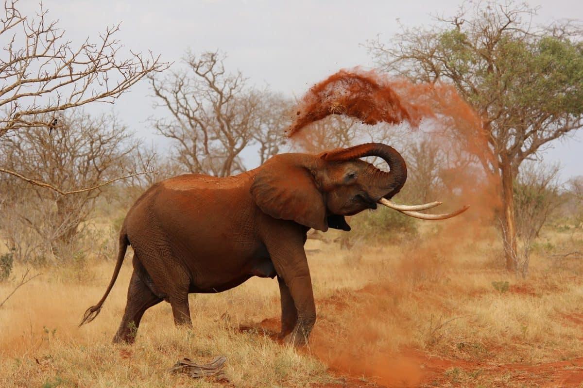 Hvad vejer en elefant?